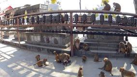 Monos en el templo almacen de video