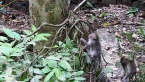 Monos en enredaderas de la selva tropical en Bali almacen de video