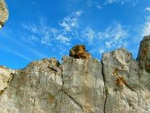 Monos en Gibraltar Fotos de archivo