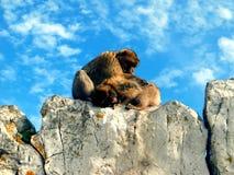 Monos en Gibraltar Foto de archivo libre de regalías