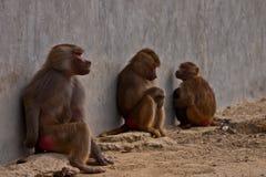 3 monos en parque del parque zoológico Fotos de archivo libres de regalías