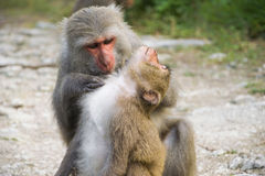 Monos en Shoushan, montaña del mono en la ciudad de Gaoxiong Imagen de archivo libre de regalías