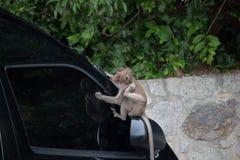 Monos en un capo Fotografía de archivo libre de regalías