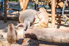 Monos en un parque zoológico Fotografía de archivo libre de regalías