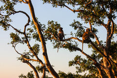 Monos en un top del árbol de la rama Fotografía de archivo