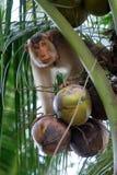Monos entrenados para desplumar los cocos (Kelantan, Malasia) Fotografía de archivo