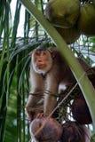 Monos entrenados para desplumar los cocos (Kelantan, Malasia) Foto de archivo libre de regalías