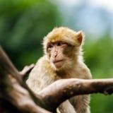 Monos hermosos del macaco en el bosque Foto de archivo