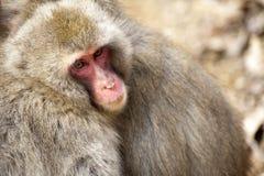 Monos japoneses de la nieve Foto de archivo libre de regalías