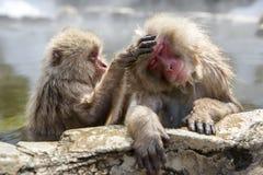 Monos japoneses de la nieve Fotos de archivo libres de regalías