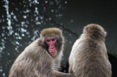 Monos japoneses del macaque Imagenes de archivo