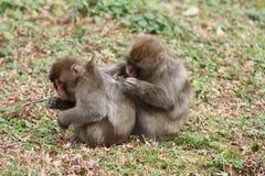 monos japoneses salvajes de la preparación en Beppu, Oita Fotos de archivo