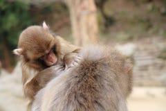 monos japoneses salvajes de la preparación en Beppu, Oita Imagenes de archivo