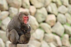 Monos japoneses salvajes que se abrazan en Beppu, Oita Foto de archivo libre de regalías
