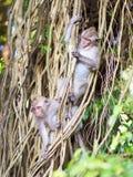 Monos jovenes que juegan en árbol Imagen de archivo libre de regalías