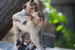 Monos lindos Fotografía de archivo