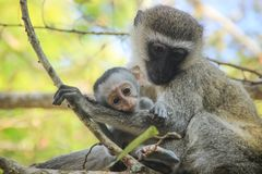 Monos preciosos y conmovedores de la mamá y del bebé Cuidado y amor fotografía de archivo