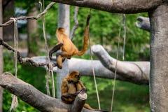 Monos, primates de balanceo imagen de archivo libre de regalías