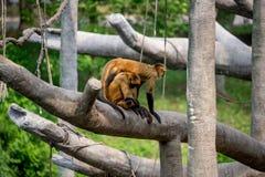 Monos, primates de balanceo imágenes de archivo libres de regalías