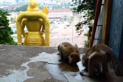 Monos que beben en un charco Batu excava el templo hindú Gombak, Selangor malasia foto de archivo