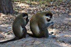 Monos que comen nueces Foto de archivo libre de regalías