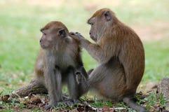 Monos que cuidan fotografía de archivo