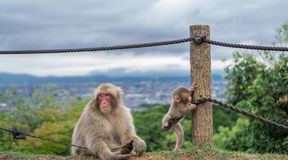 Monos que juegan en la montaña de Arashiyama, Kyoto imagenes de archivo