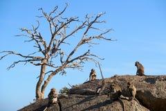 Monos que juegan en la montaña del mono Imagen de archivo