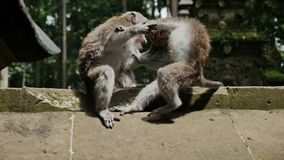 Monos que juegan la cultura Indonesia de la naturaleza de animales a cámara lenta almacen de video