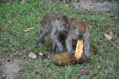 Monos que lo comen comida Fotos de archivo libres de regalías
