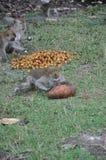 Monos que lo comen comida Imágenes de archivo libres de regalías