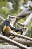 Monos que preparan con uno que mira la cámara. imagen de archivo