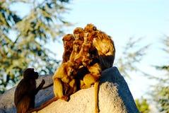 Monos que toman el sol Imagenes de archivo