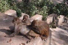 Monos rojos Imagen de archivo libre de regalías