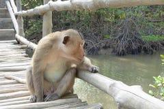 Monos salvajes en la isla del mono Foto de archivo