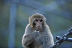 Monos solos imagen de archivo libre de regalías