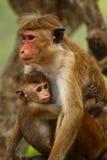 Monos srilanqueses Foto de archivo libre de regalías