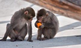 Monos y fruta Imagen de archivo libre de regalías