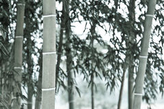 Monotone bamboo Stock Photos
