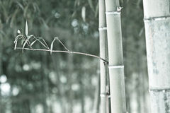Monotone bamboo Royalty Free Stock Photos