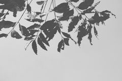 Monotone black & white shade of shadow leaves.. Monotone black & white shade of shadow leaves looking up on the sky, feeling blues, moody, alone and lonely Royalty Free Stock Photos