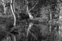Monotone Of Bushland Creek With Still Water Reflections. Black and white image of a creek with still water tree and foliage reflections stock photography