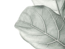 Monotone color leaves background. Monotone color leaves on white background Royalty Free Stock Images