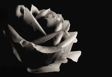 Monotone image of a single rose isolated on a black background. Lit from the right side with copy space on the right royalty free stock image