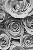 Colorless roses Stock Photo