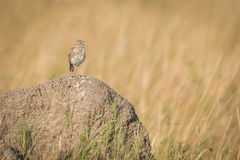 Monotonous lark on termite mound in grassland Stock Photography