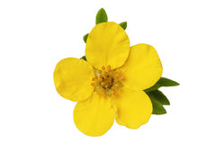 Monrovia potentilla Royalty Free Stock Photo