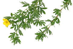 Monrovia Potentilla Leaf royalty free stock photography