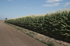 Monsanto GMO Corn Field Royalty Free Stock Photos