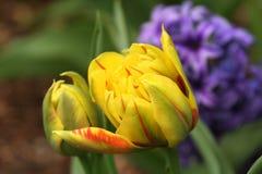 Monsella-Tulpen unfurl, während die Sonne die Erde im Vorfrühling wärmt Lizenzfreies Stockbild